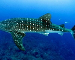 CEBU: Swimming with the Oslob Whale Sharks : A Travel Guide