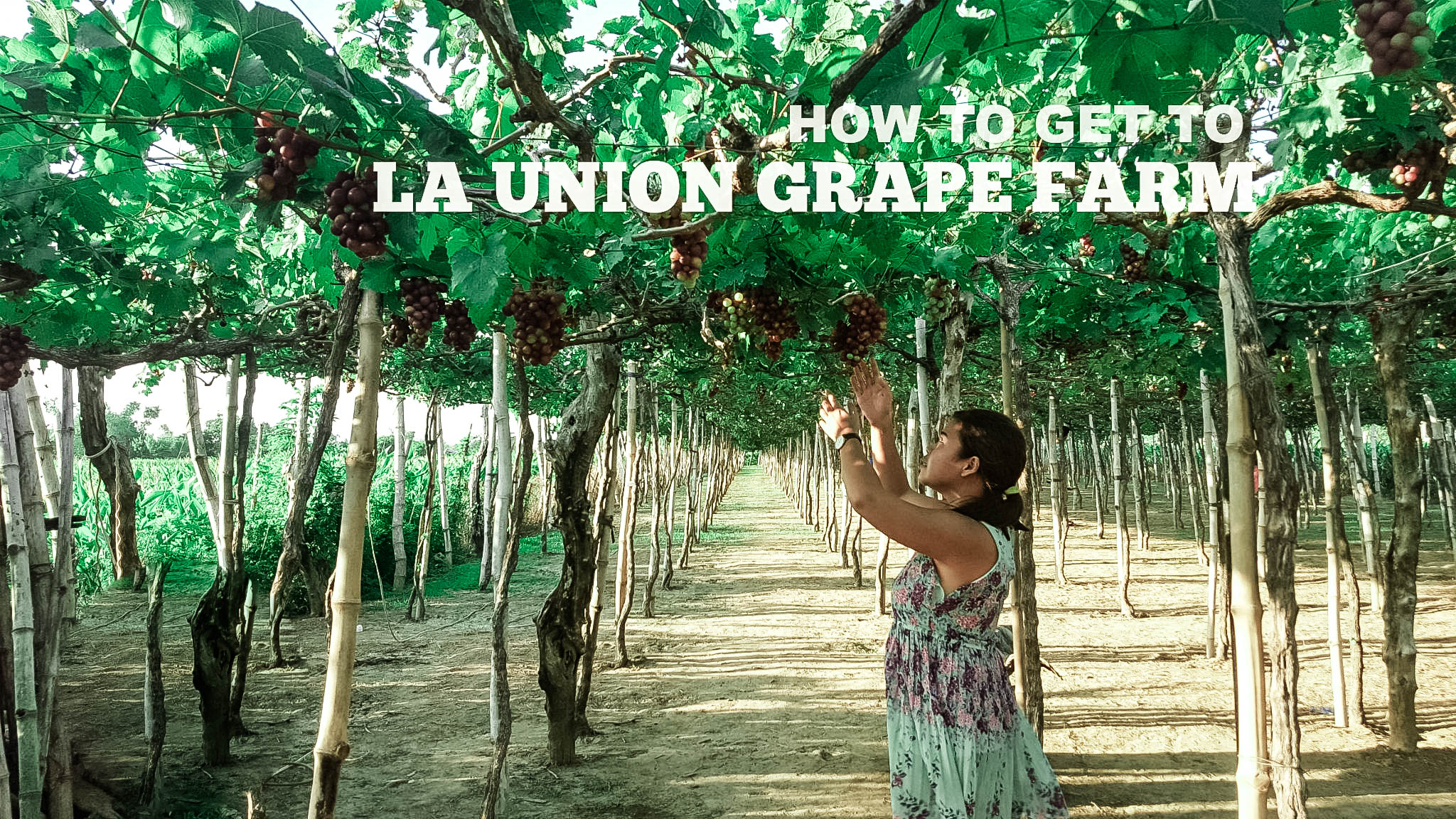 how to get to la union grape farm – pinay solo backpacker