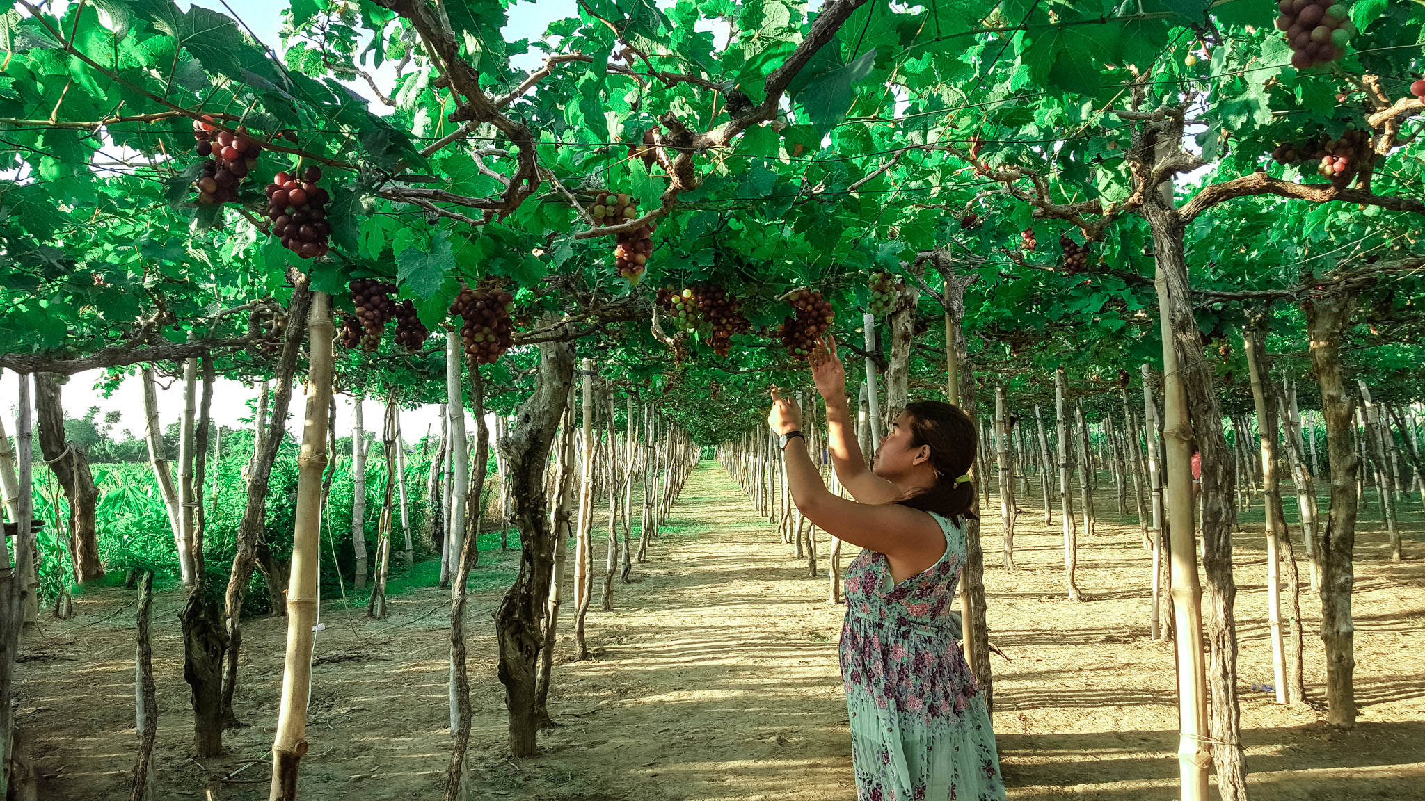 HOW TO GET TO LA UNION GRAPE FARM